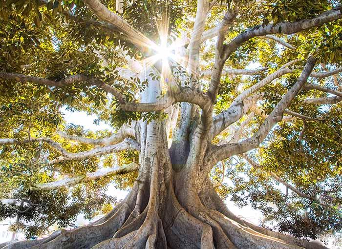 見上げる大樹の向こうから太陽の輝きが零れ落ちる